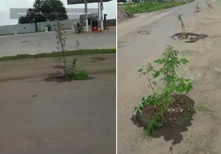 Este genio plantó árboles en los baches para que el gobierno los tape