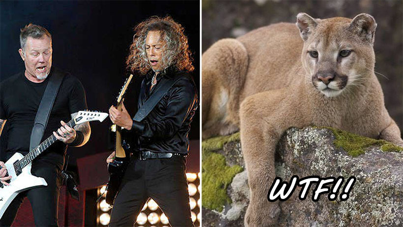 Típico que un puma quiere atacarte pero lo asustas con una rola de Metallica
