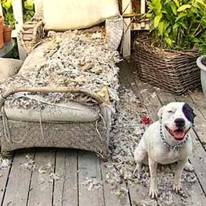 Llegas a tu casa después de un de un mal día y tu perrito te recibe con tu sillón destrozado