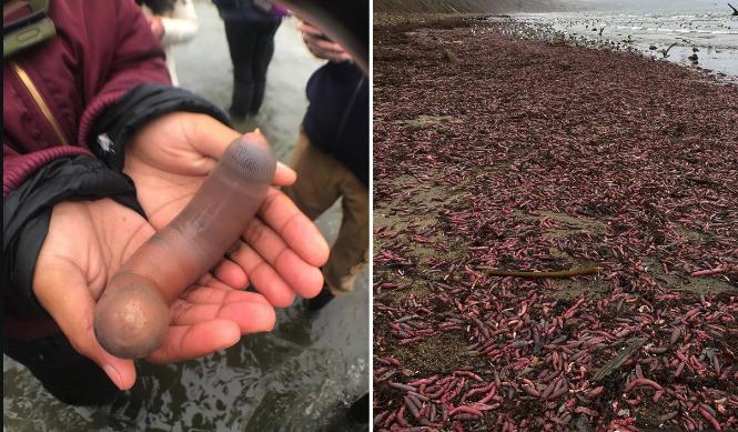 Peor que el sargazo: Miles de peces con forma de nepe azotaron la costa de la playa