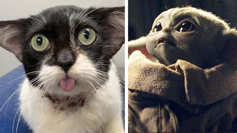 Este gato que se parece a Baby Yoda necesita tu ayuda