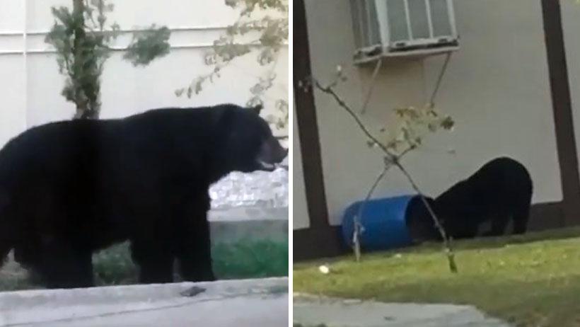 Allá, en tu Universidad donde bien casual llegan los osos a husmear en la basura (VIDEO)