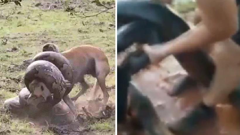 Tres hombres salvan a perro de anaconda.
