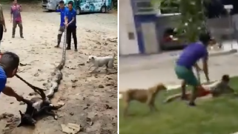Perros unen fuerzas con humanos para luchar contra serpientes.