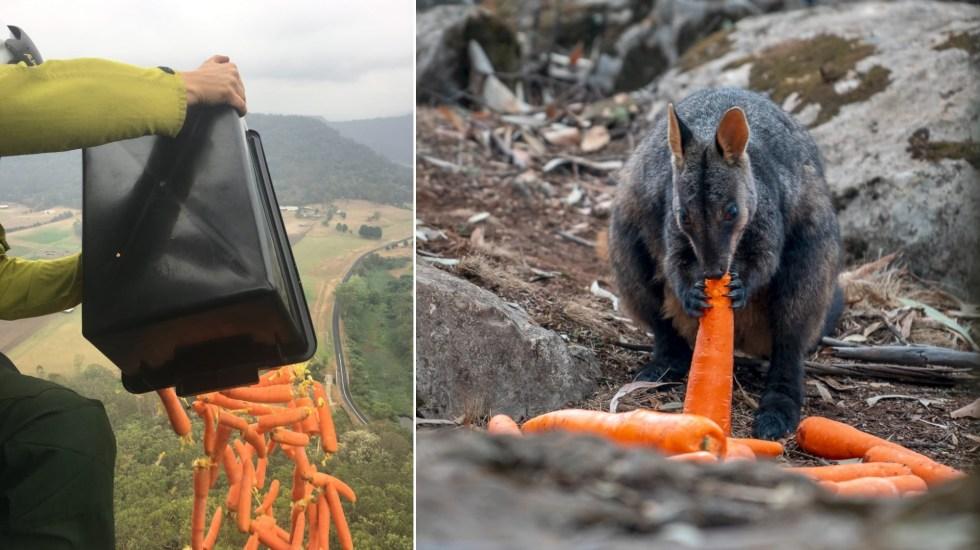 Fe restaurada: Arrojan comida desde helicóptero a animales que sobrevivieron los incendios de Australia