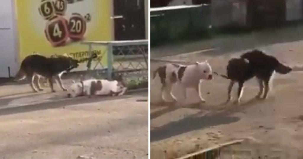 Este perro callejero encontró a un Pitbull amarrado y lo ayudó a escapar hacia la libertad