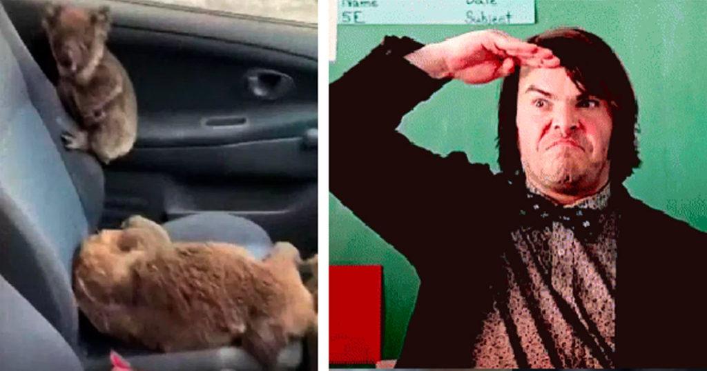 Héroes nivel: salvan koalas llenando su auto y llevándolos al hospital