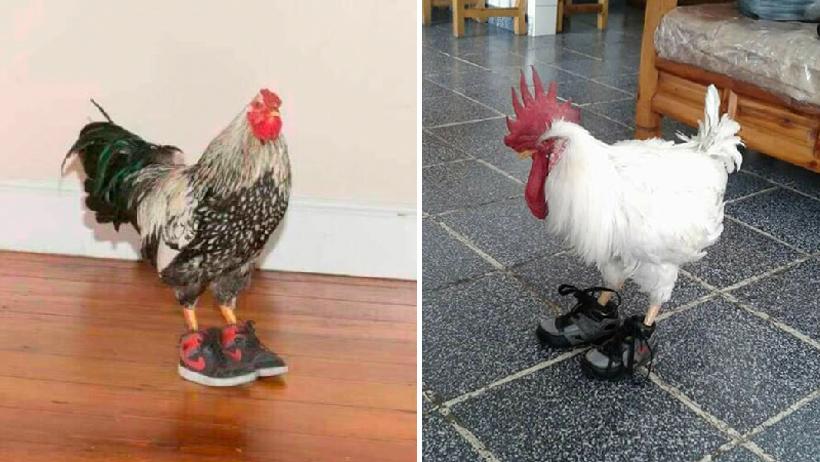 Pato con tenis le copió la idea a los gallos.