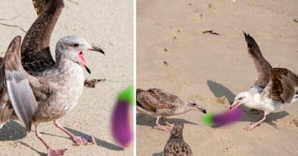 La naturaleza es sabi… Dos gaviotas se pelean por un dildo que apareció en la playa