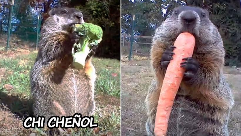 Cinismo nivel: marmota roba comida y se la come frente a la cámara de seguridad