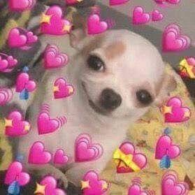 chihuahua perro meme