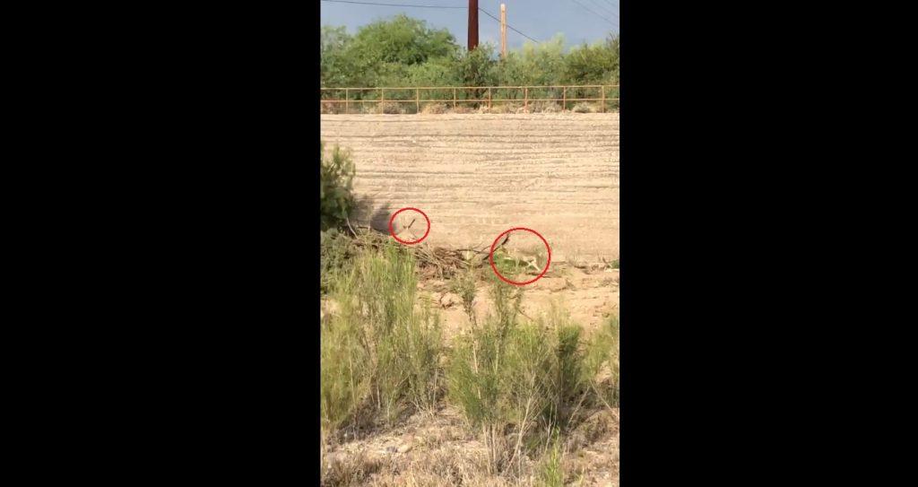 Directo en la infancia: Graban a un coyote persiguiendo un correcaminos (VIDEO marca ACME)