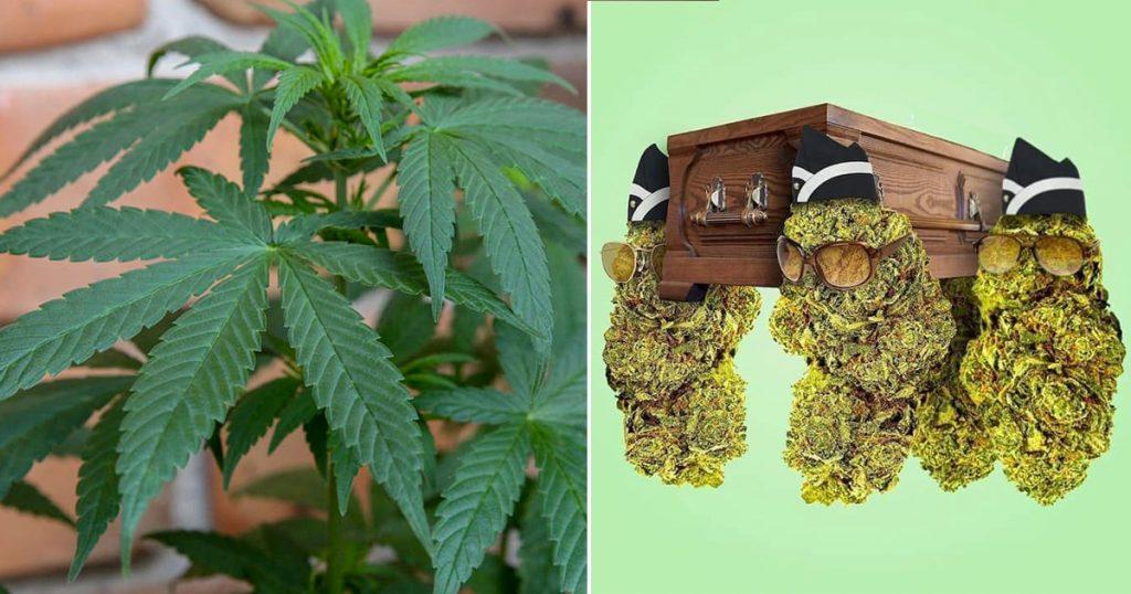 marihuana-cura-previene-coronavirus-covid-19-mota