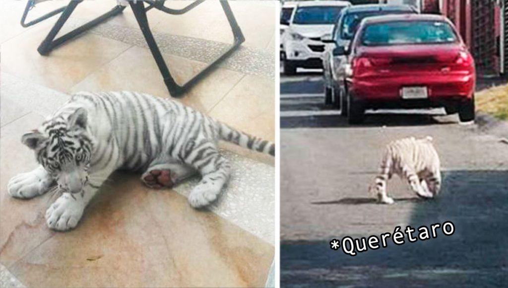 Típico que eres queretano y pierdes a tu mascotita… ¿un tigre blanco?