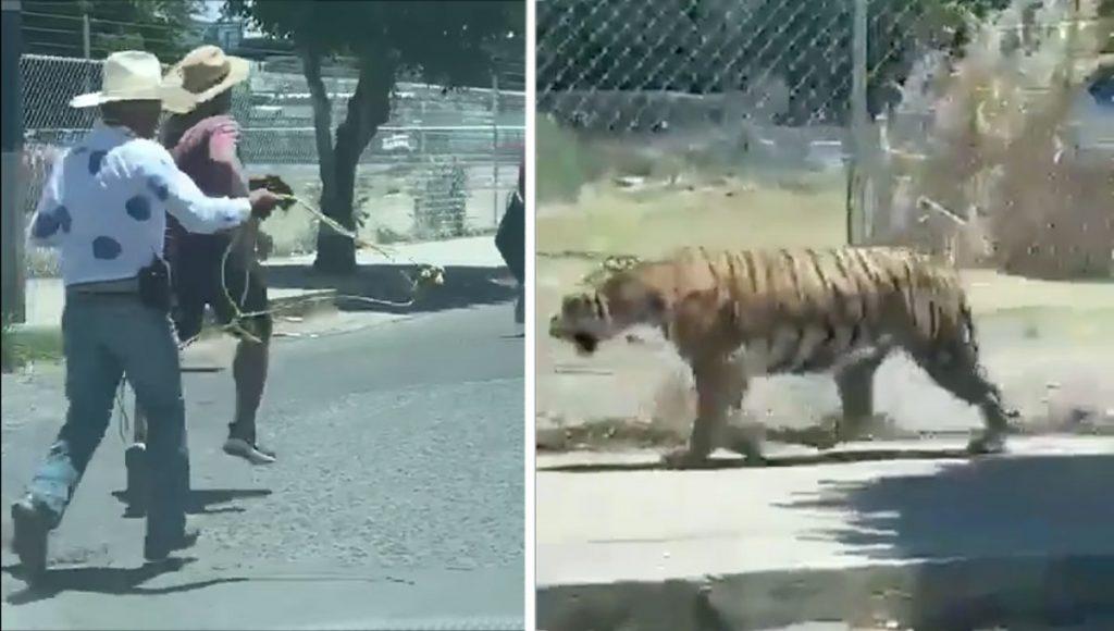 Guadalajara no es un circ… se escapa tigre y lo atrapa un charro