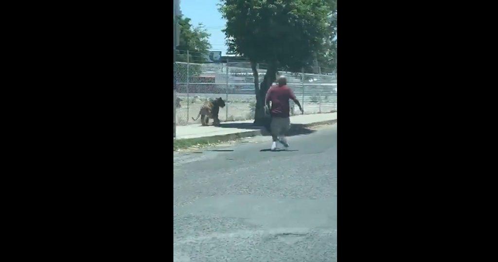 Allá en tu rancho, donde atrapan tigres con lazos en plena calle (VIDEO)
