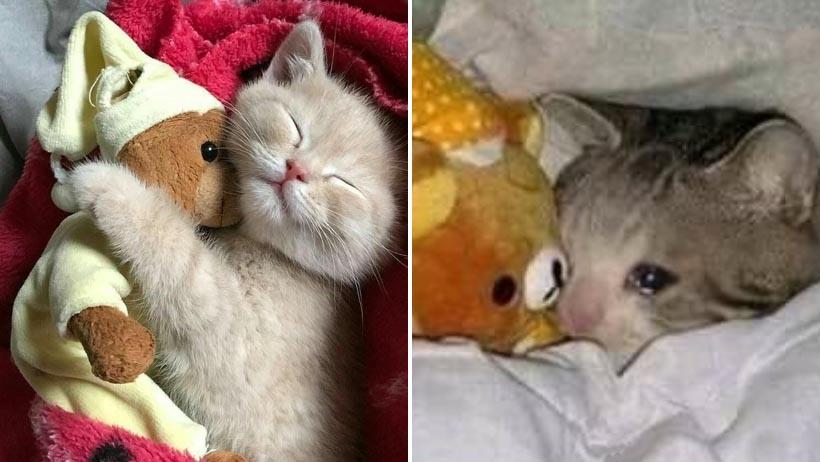 Biólogos confirman la existencia de una nueva especia de felino llamado mimir