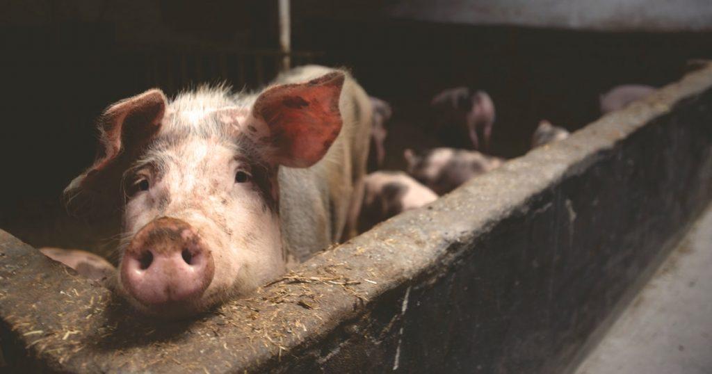 Hallan nuevo virus de gripe porcina; ¿otra pandemia en camino?