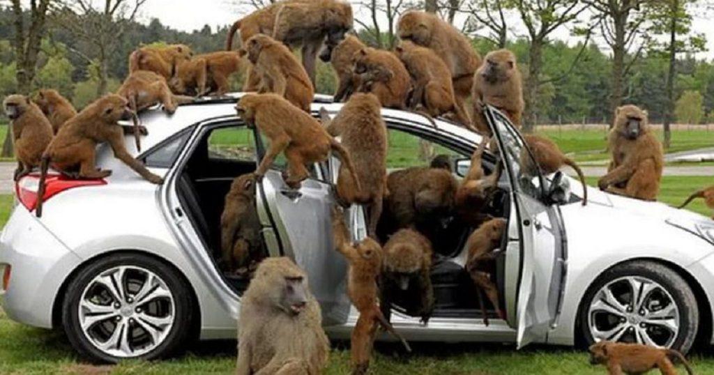 Jumanji nivel: Monos con cuchillos causan destrozos en parque de Inglaterra