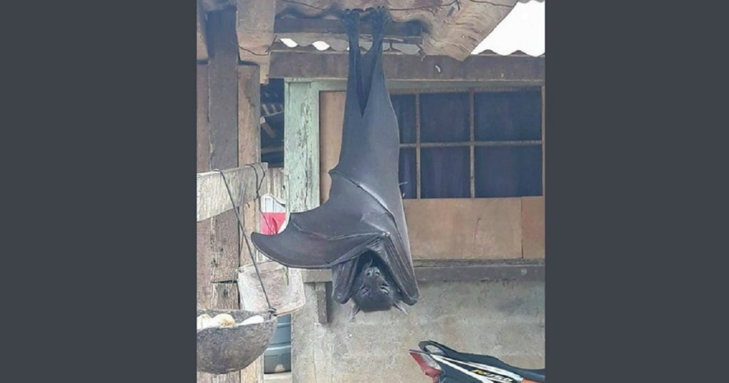 ¿Batman real?: Murciélago del tamaño de una persona causa terror en internet