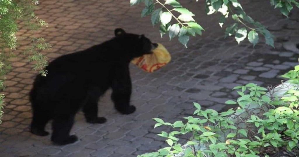 Harto de comer en el bosque, oso roba orden de Pollo Loco a familia de Monterrey