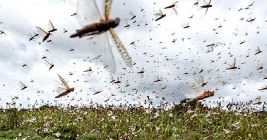Se acerca plaga de langostas a México porque, ¿por qué no?, dice el 2020