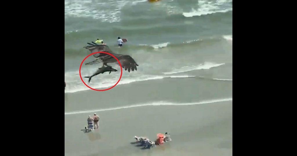Baby shark nivel: Águila atrapa tiburón y se lo lleva de viaje por la playa (VIDEO)