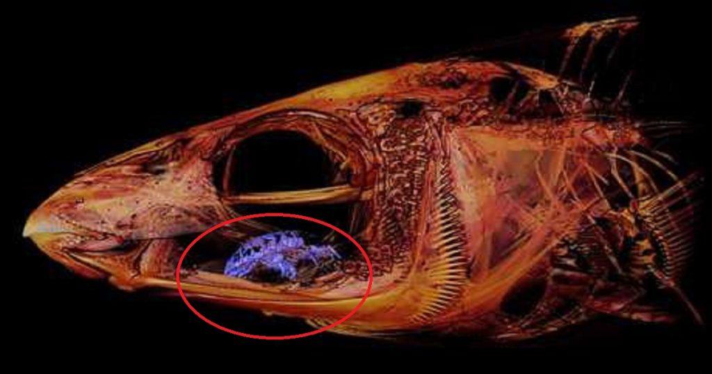 Lacra nivel: Parásito se come lengua de pez y la reemplaza consigo mismo