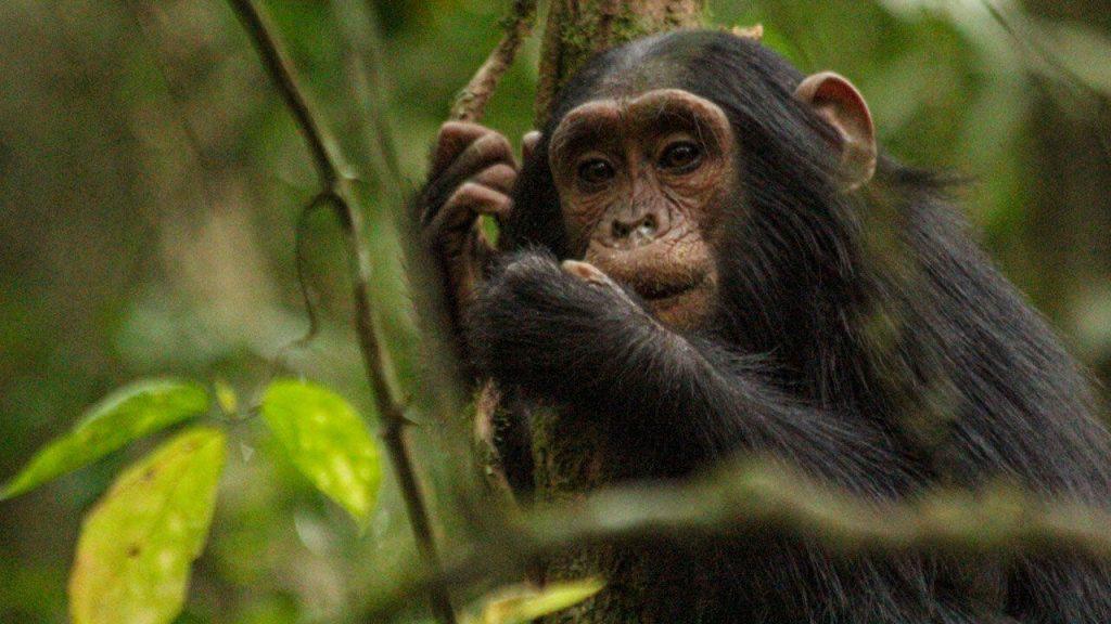 Posmodernos nivel: En Suiza podrían otorgarle derechos de personas a los simios