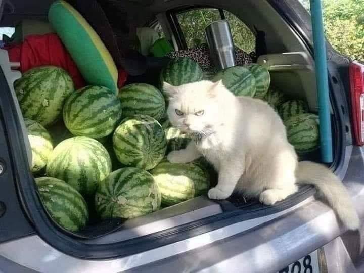 gato sandía