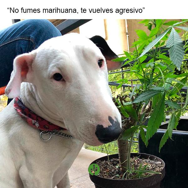 marihuana jardin